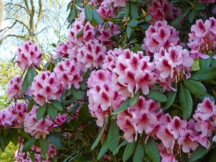Rhododendrons in the Secret Garden