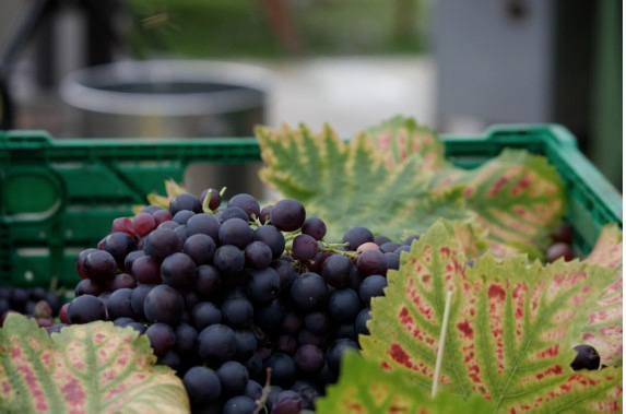 Winbirri sample of grapes