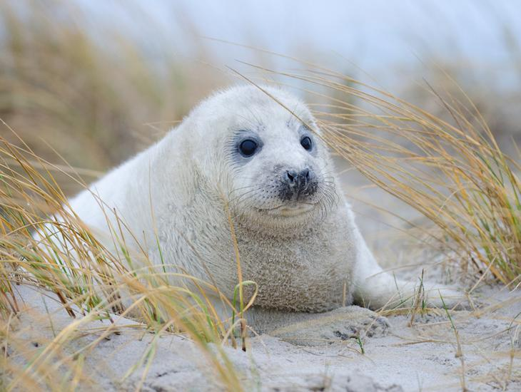 Seal Pup And Marram Grass