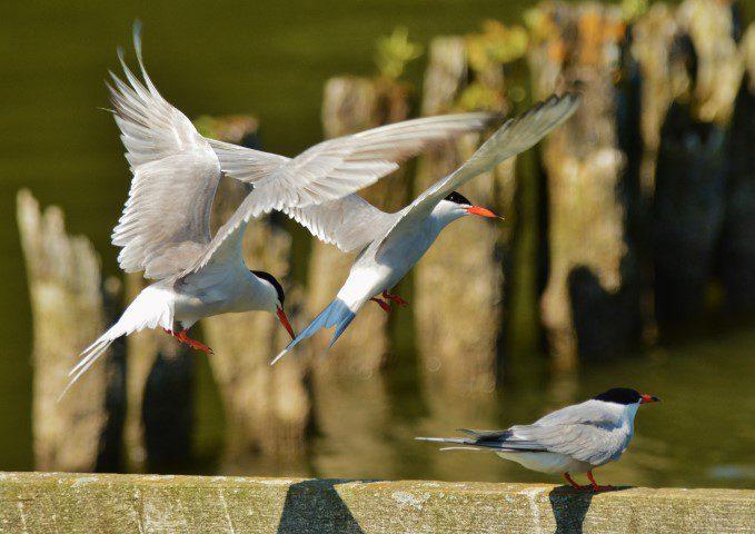 Common Tern Nwt Ranworth Elizabeth Dack 19 July 2016 Small