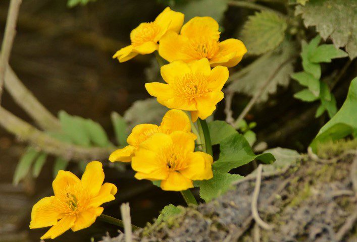 Marsh Marigolds Looking Bright On A Dull Day Rockland Elizabeth Dack 24 April 2018 Small