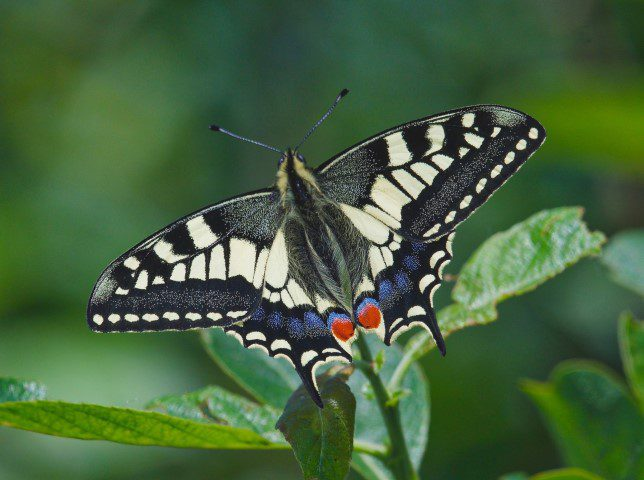 Swallowtail Butterfly Nwt Hickling John Assheton 24 May 2017 Small