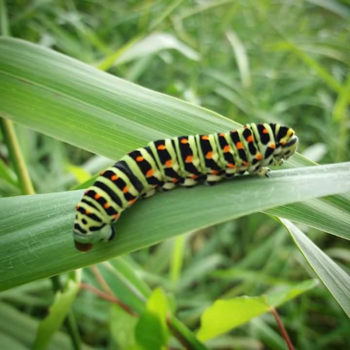 Swallowtail Catterpillar