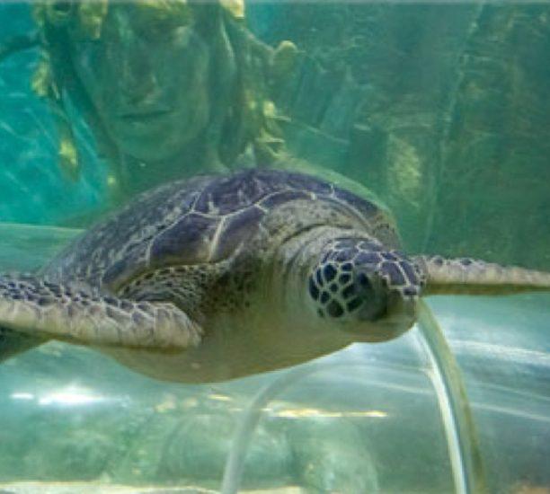 Green Sea Turtle At Sea Life Norfolk