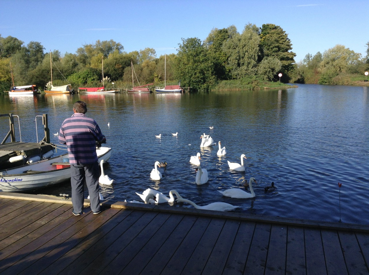 Swans on the river at Moonshine Lodge Brundall