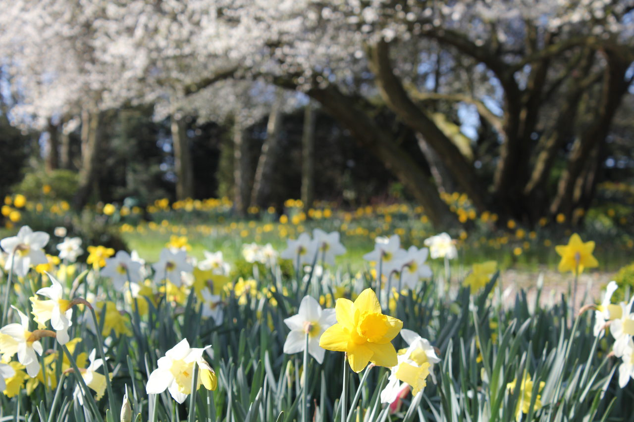 Daffodils in spring - Old Rectory Gardens