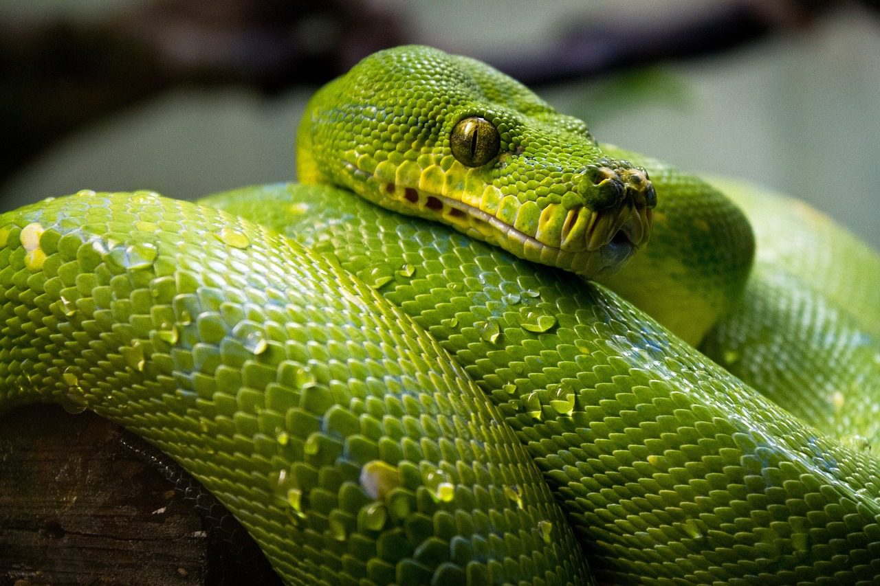 Green Tree Python 1014229 1280