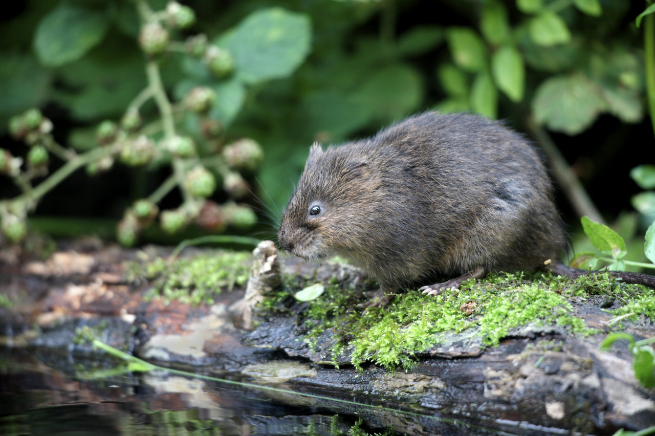 Vole Abroad In Norfolk