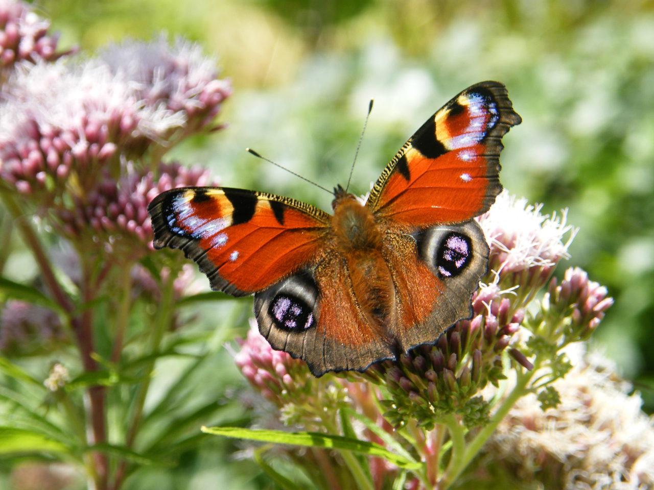 Fairhaven Tortoiseshell Butterfly