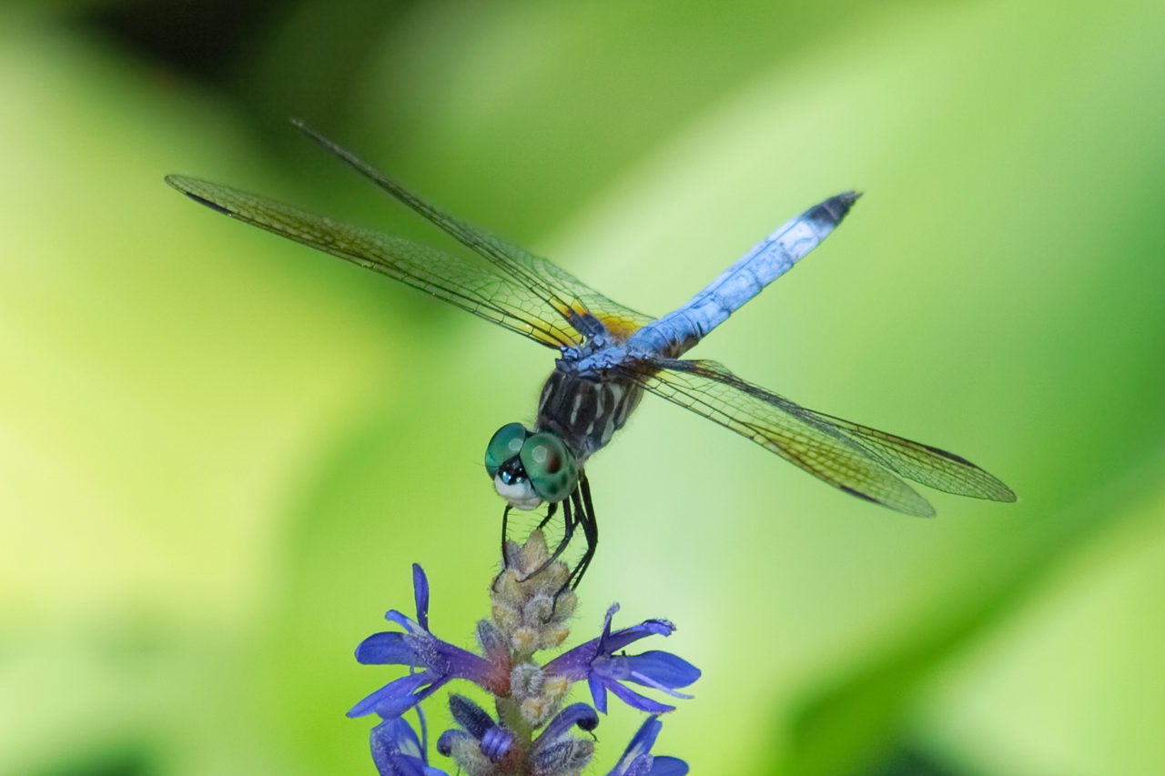 Dragonflies On The Norfolk Broads