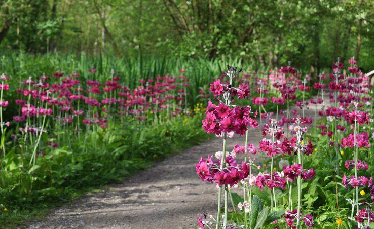 2 Candelabra Primulas Fairhaven Gardens