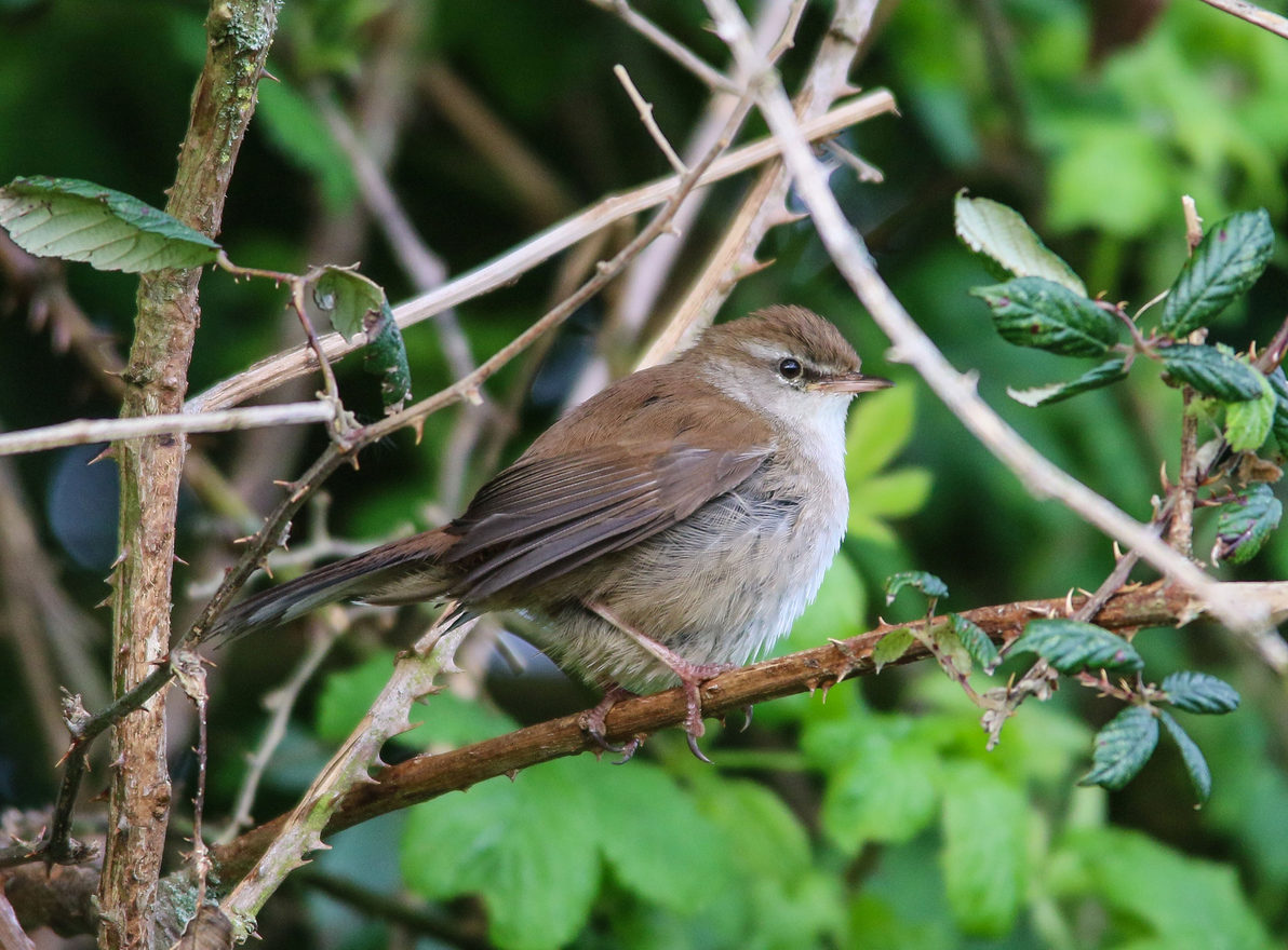 Cetti S Warbler