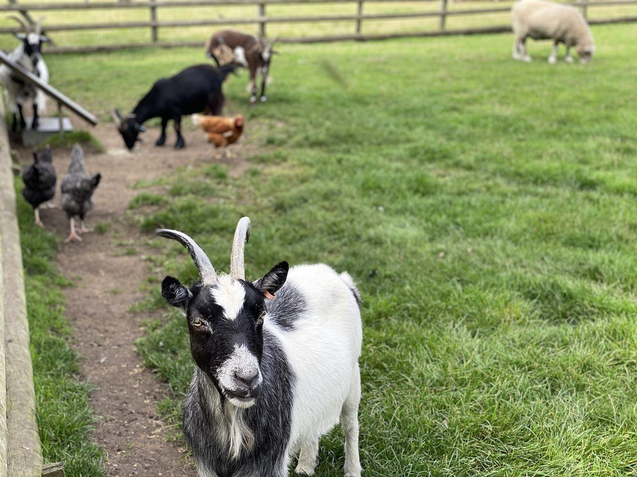 Gorgeous Goats at Petitts