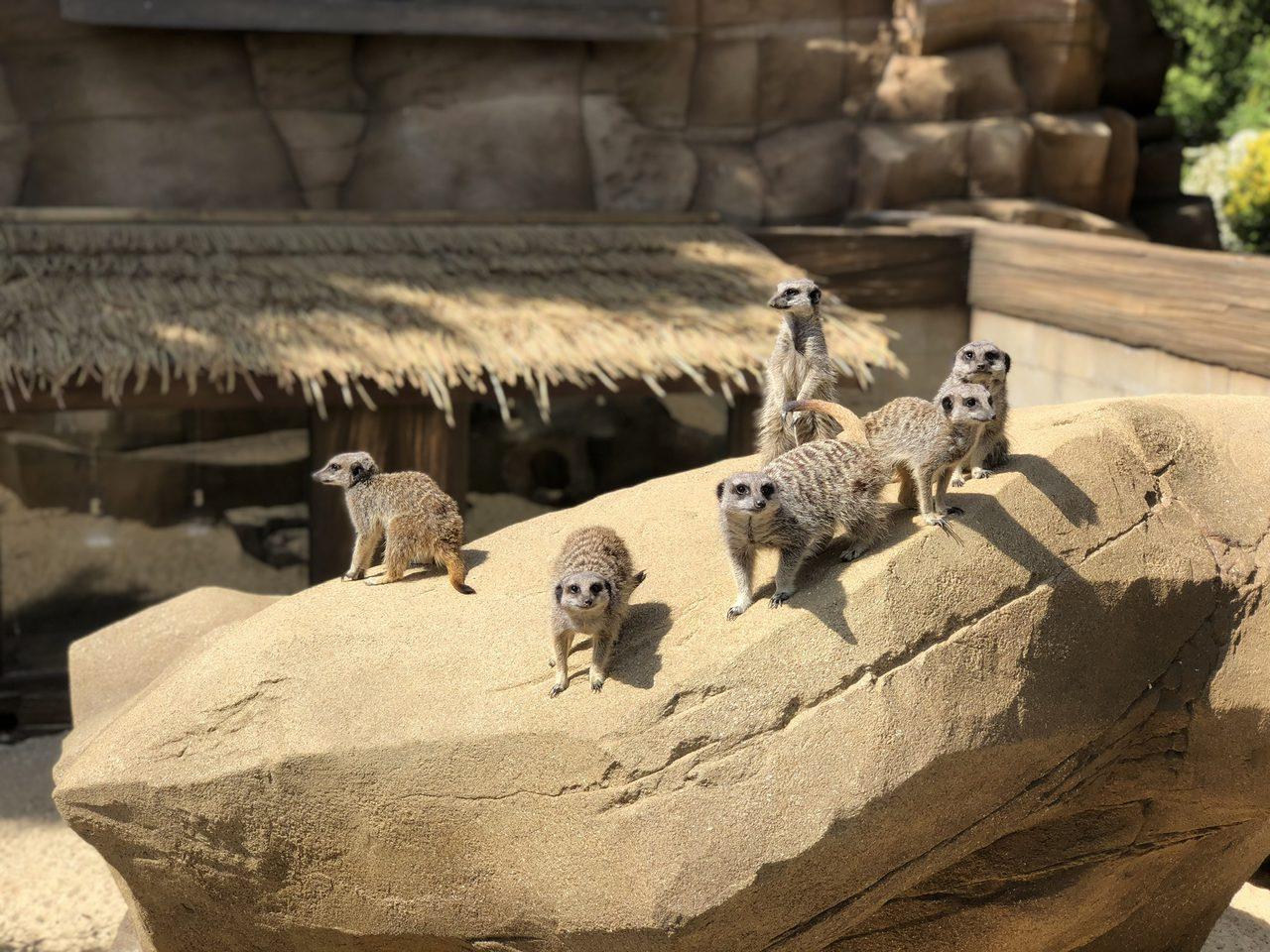 Meercat Heaven at Pettitts